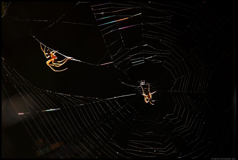 Ämblikud, Spiders, ämblik, spider