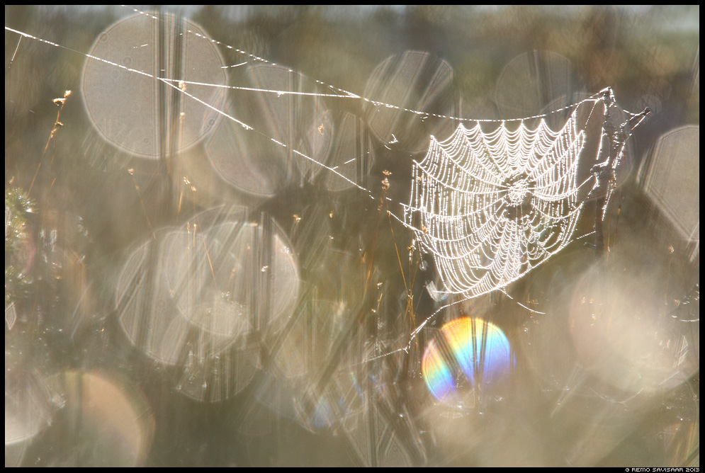 Pärlikee, Spider Web of Pearls raba ämblikuvõrk bog Estonia, Europe Remo Savisaar Eesti loodus  Estonian Estonia Baltic nature wildlife photography photo blog loodusfotod loodusfoto looduspilt looduspildid