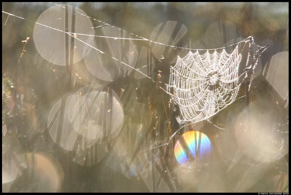 Pärlikee, Spider Web of Pearls raba ämblikuvõrk bog Estonia, Europe Remo Savisaar Eesti loodus  Estonian Estonia Baltic nature wildlife photography photo blog loodusfotod loodusfoto looduspilt looduspildid