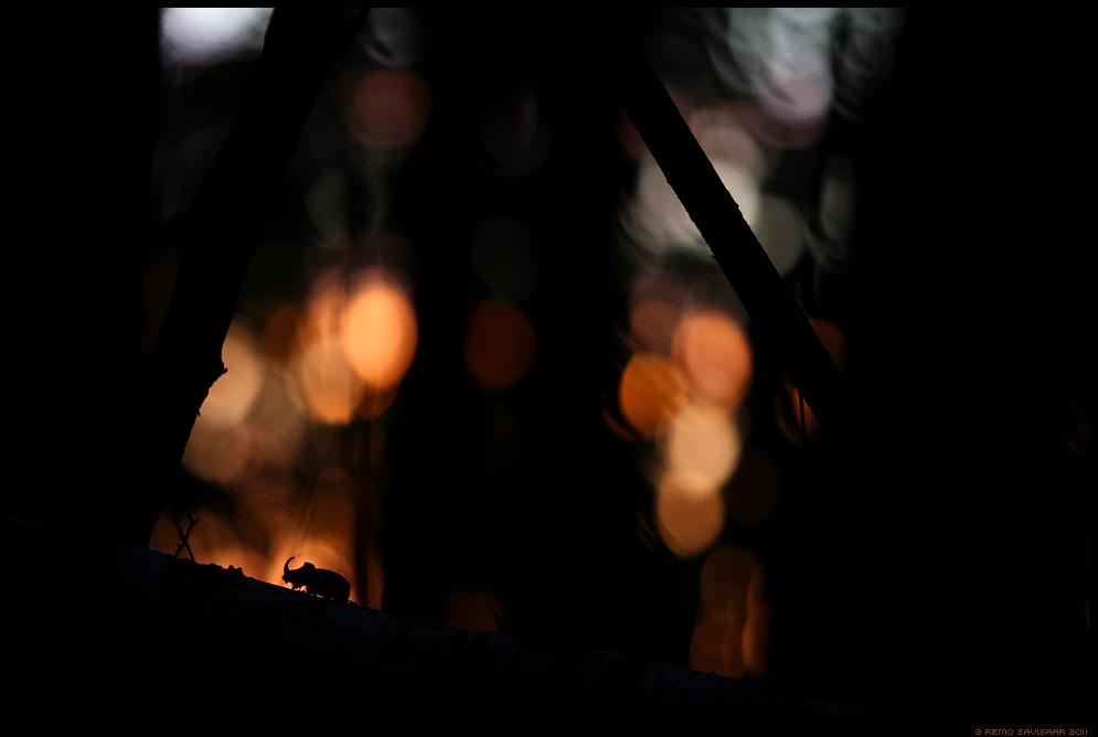 GDT Eurpean Wildlife Photographer of the Year 2013, Winner in Other animals, ninasarvikpõrnikas little rhino Remo Savisaar Eesti loodus Estonian Estonia Baltic nature photography photo blog loodusfotod loodusfoto looduspilt looduspildid