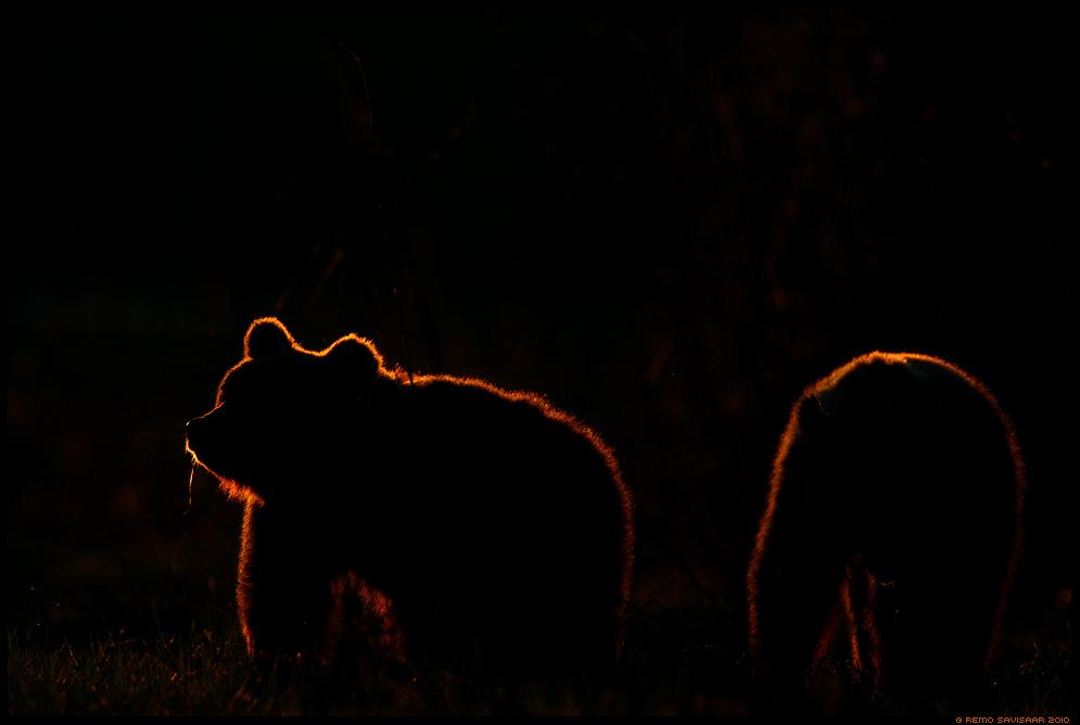 Pruunkaru, Brown Bear, Ursus arctos, Eesti, Estonia, nature, loodus, wild, wildlife, mesikäpp, mõmm, mõmmid