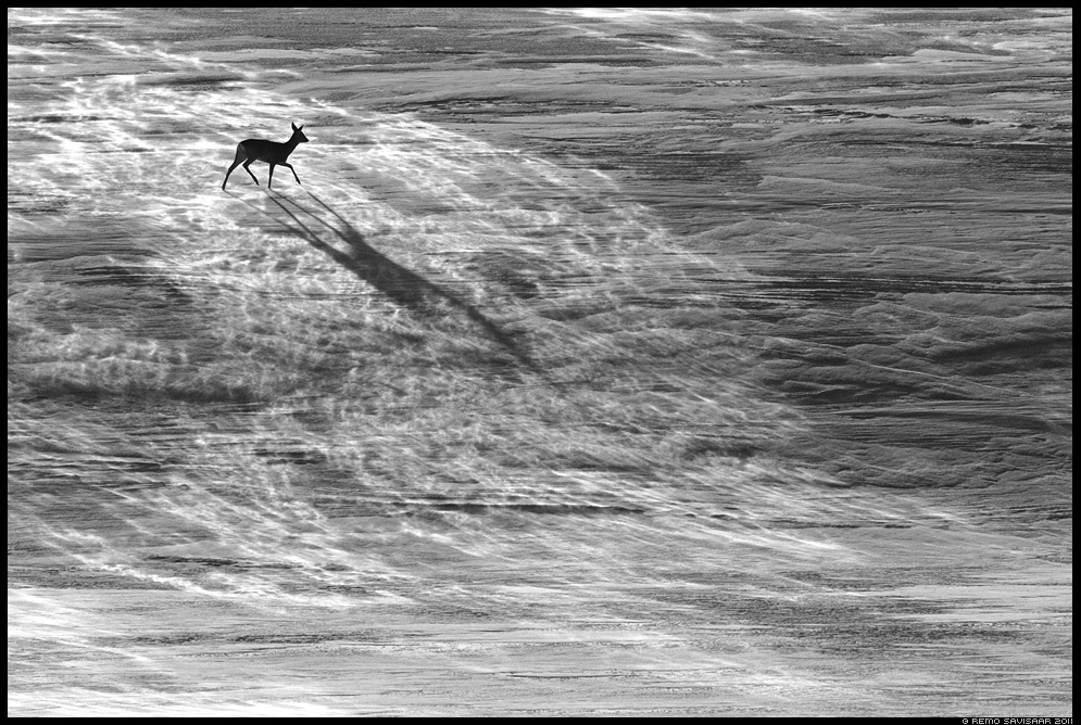 Roe deer in snow blizzard Runner-up in Veolia Environnement Wildlife Photographer of the Year 2012 competition in Nature Black & White category, metskits tuisus, lumi, talv, winter, snow, tuisk, Remo Savisaar Eesti loodus Estonian Estonia Baltic nature bbc wildlife photography photo blog loodusfotod loodusfoto looduspilt looduspildid