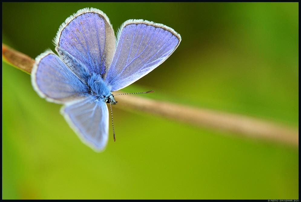 Ristikheina-taevastiib, Common blue, Polyommatus icarus, liblikas, butterfly, sinitiib, Sinilibliklased, Lycaenidae, siniliblikas