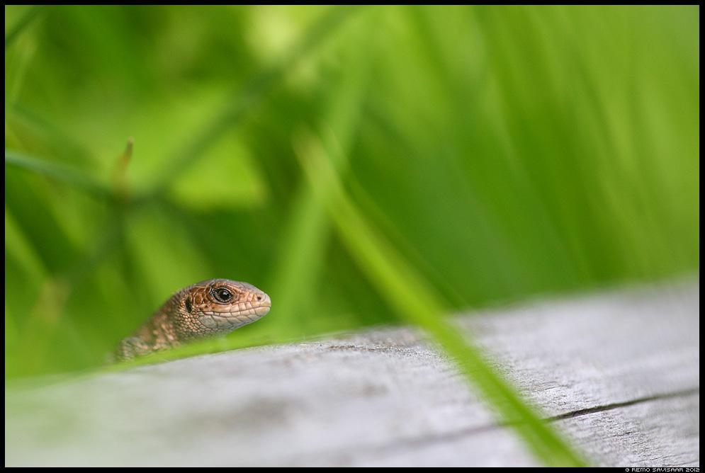 Arusisalik, Viviparous lizard, Lacerta vivipara, reptile, roomaja, estonian, wildlife, eesti, loodus