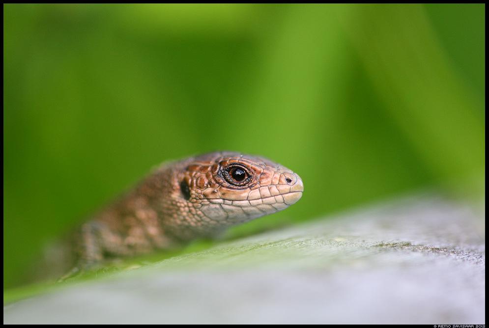 Arusisalik, Viviparous lizard, Lacerta vivipara, reptile, roomaja, estonian, wildlife, eesti, loodus, portree, portrait