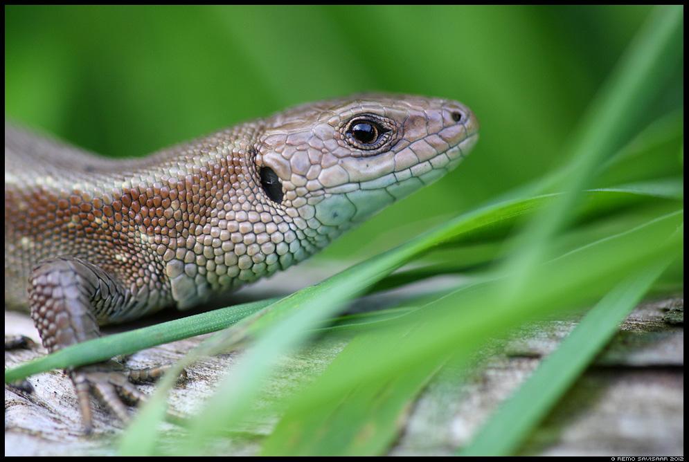 Väike draakon, Little dragon, Arusisalik, Viviparous lizard, Lacerta vivipara, closeup, portree, portrait, roomaja