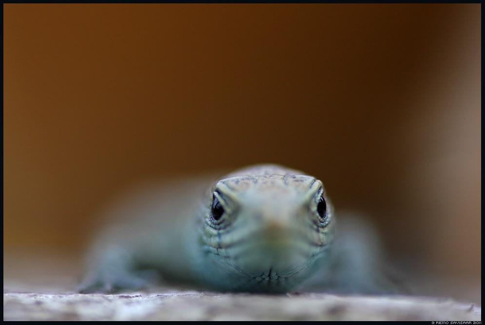 Arusisalik, Viviparous lizard, Lacerta vivipara