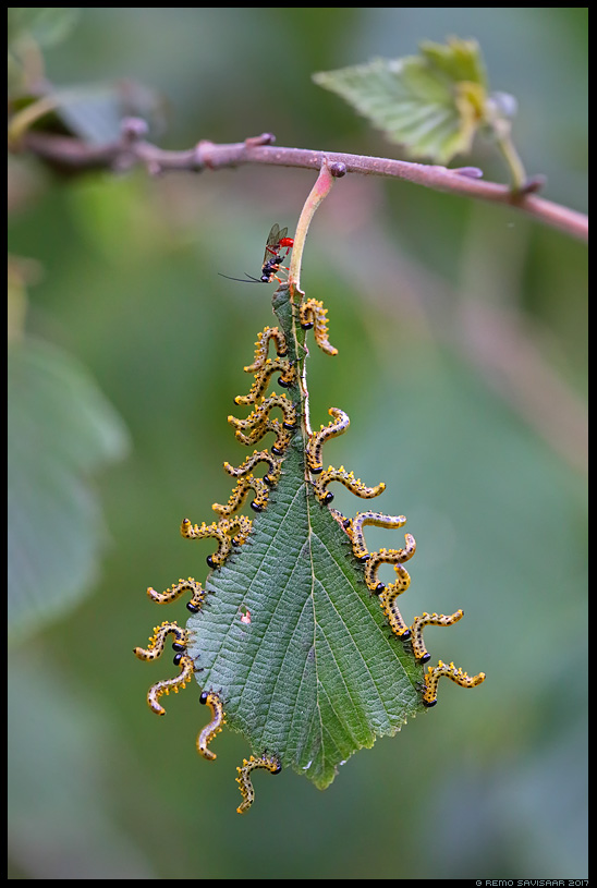 ebaröövik willow sawfly larva putukad auhinnatud awarded Remo Savisaar Eesti loodus Estonian Estonia Baltic nature wildlife photography photo blog loodusfotod loodusfoto looduspilt looduspildid landscape nature wild wildlife nordic
