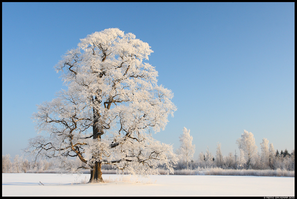 Kaunis härmarüü, Beautiful frosty coat tamm oak tree härmatis härmas frost winter talv Remo Savisaar Eesti loodus Estonian Estonia Baltic nature wildlife photography photo blog loodusfotod loodusfoto looduspilt looduspildid