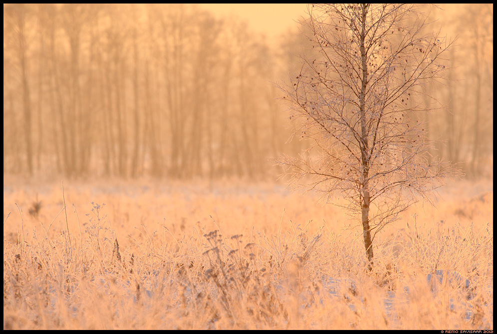 Roosa härmatis, Delicate pink frost härmas talv talvine winter päikeseloojang sunset Remo Savisaar Eesti loodus  Estonian Estonia Baltic nature wildlife photography photo blog loodusfotod loodusfoto looduspilt looduspildid