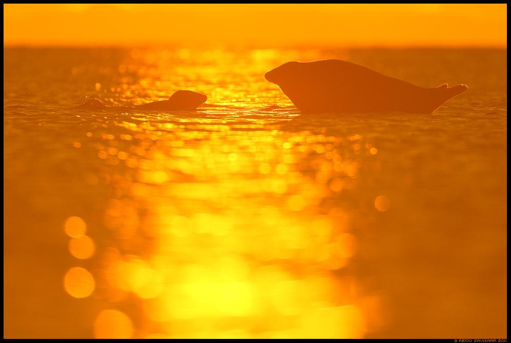 Hallhüljes, Grey Seal, Halichoerus grypus päikesetõus sunrise liivi laht gulf of liivi Remo Savisaar Eesti loodus Estonian Estonia Baltic nature wildlife photography photo blog loodusfotod loodusfoto looduspilt looduspildid