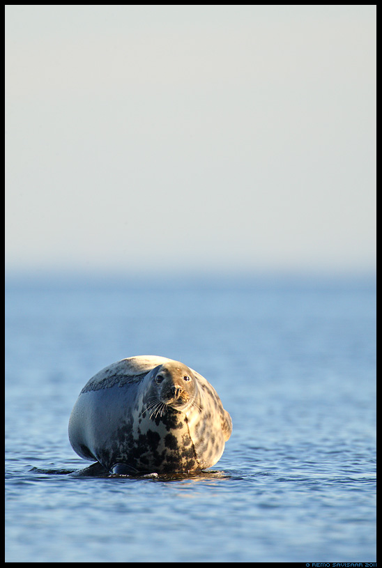 Hallhljes, Grey Seal, Halichoerus grypus