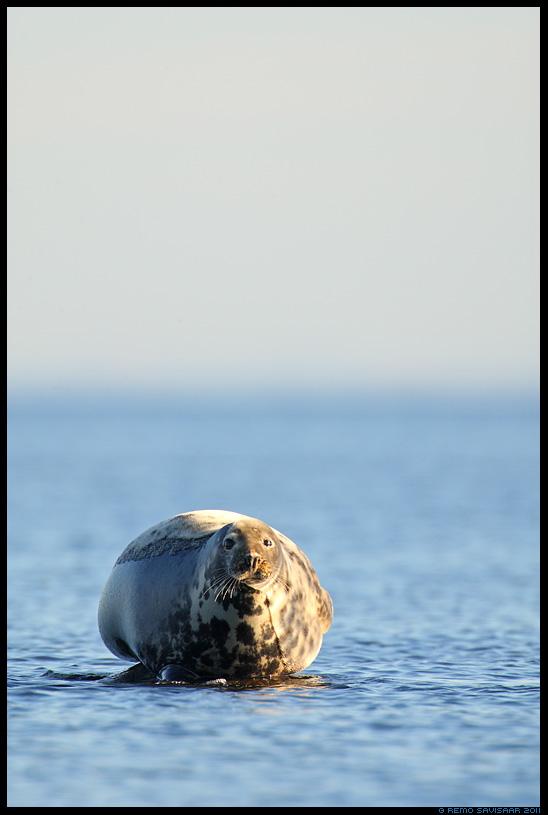 Hallhüljes, Grey Seal, Halichoerus grypus