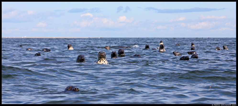 Hallhüljes, Grey Seal, Halichoerus grypus, läänemeri, baltic sea, merel, september, sügis, autumn