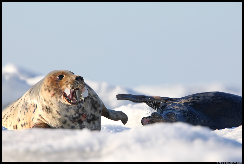 Hallhüljes, Grey Seal, Halichoerus grypus Remo Savisaar Eesti loodus Estonian Estonia Baltic nature wildlife photography photo blog loodusfotod loodusfoto looduspilt looduspildid