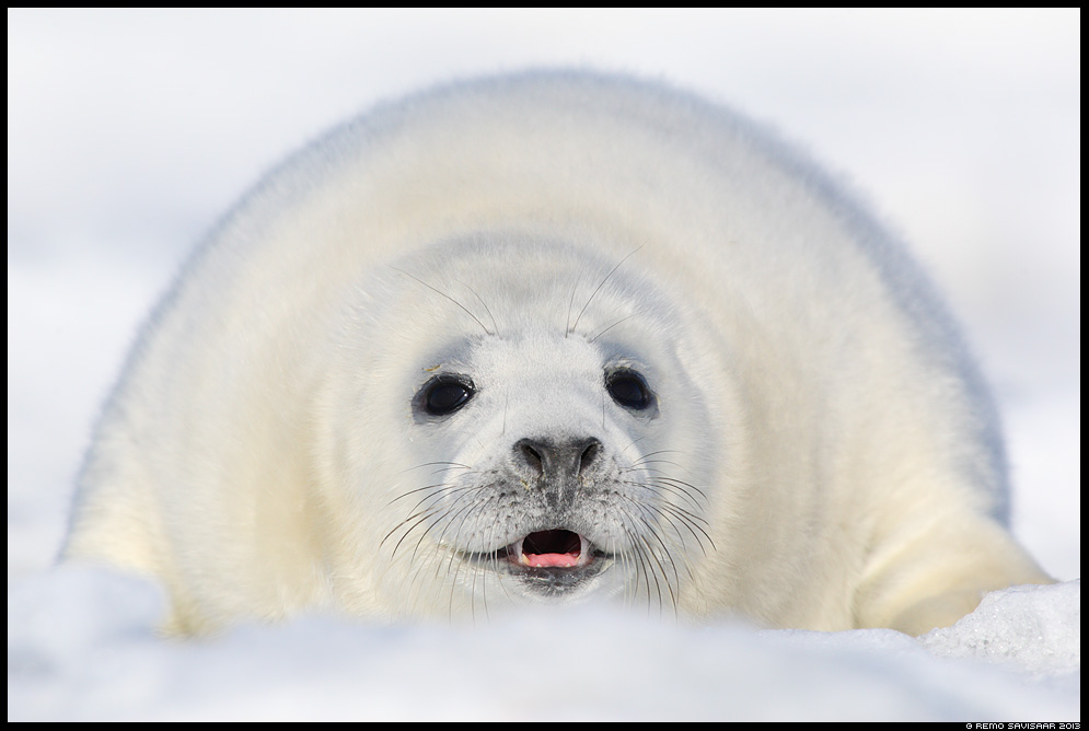 Hallhüljes, Grey Seal, Halichoerus grypus loomalaps baby animal jää talv Remo Savisaar Eesti loodus  Estonian Estonia Baltic nature wildlife photography photo blog loodusfotod loodusfoto looduspilt looduspildid