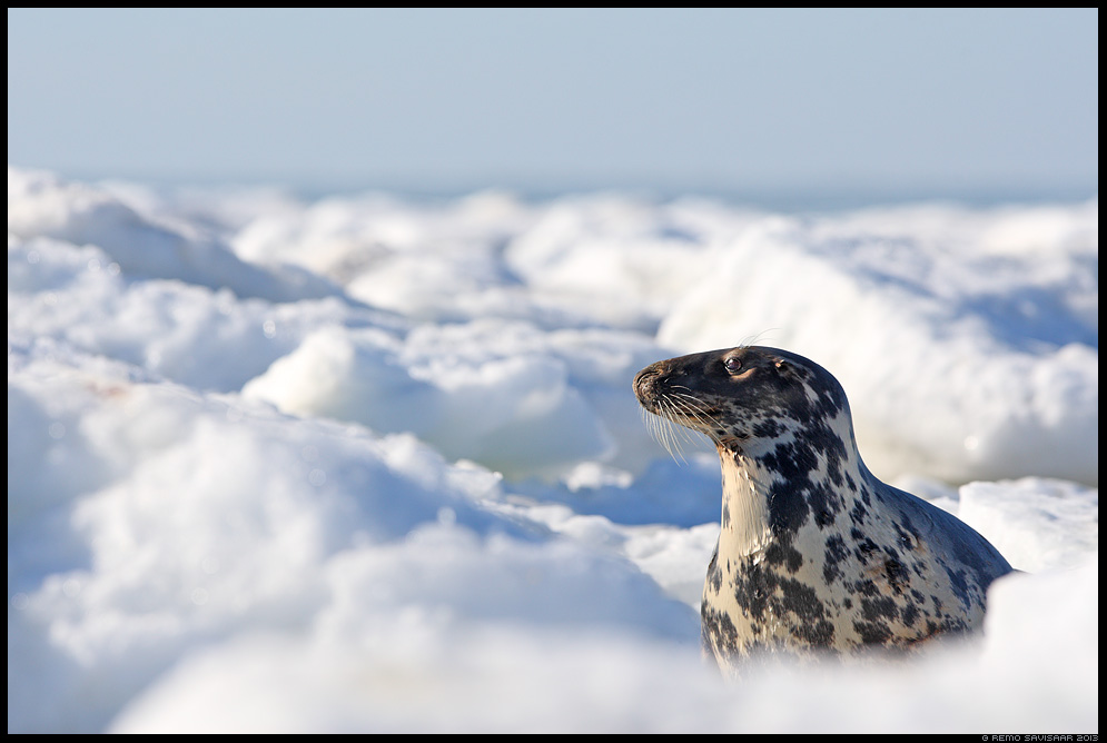 Hallhüljes, Grey Seal, Halichoerus grypus animal jää talv Remo Savisaar Eesti loodus  Estonian Estonia Baltic nature wildlife photography photo blog loodusfotod loodusfoto looduspilt looduspildid