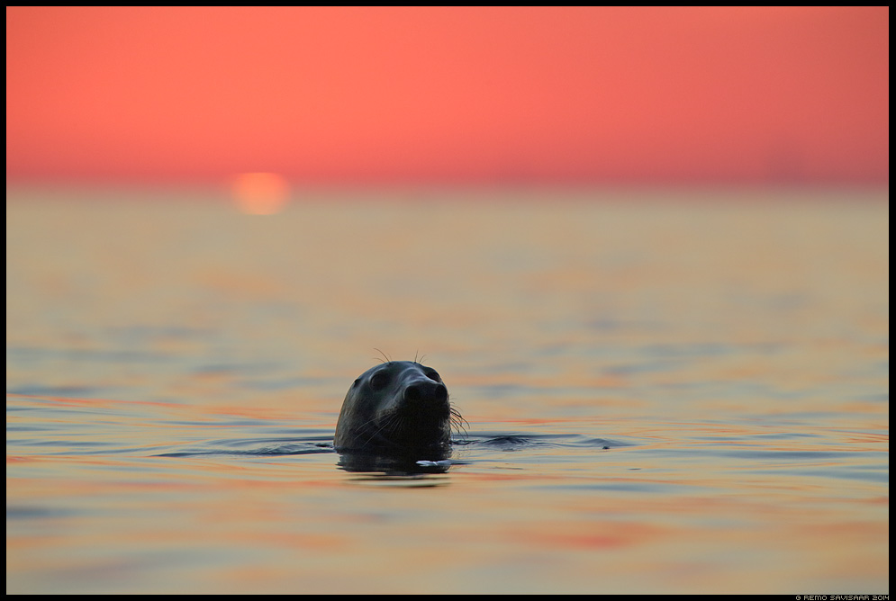 Hallhüljes, Grey Seal, Halichoerus grypus liivi laht gulf of liivi Remo Savisaar Eesti loodus Estonian Estonia Baltic nature wildlife photography photo blog loodusfotod loodusfoto looduspilt looduspildid