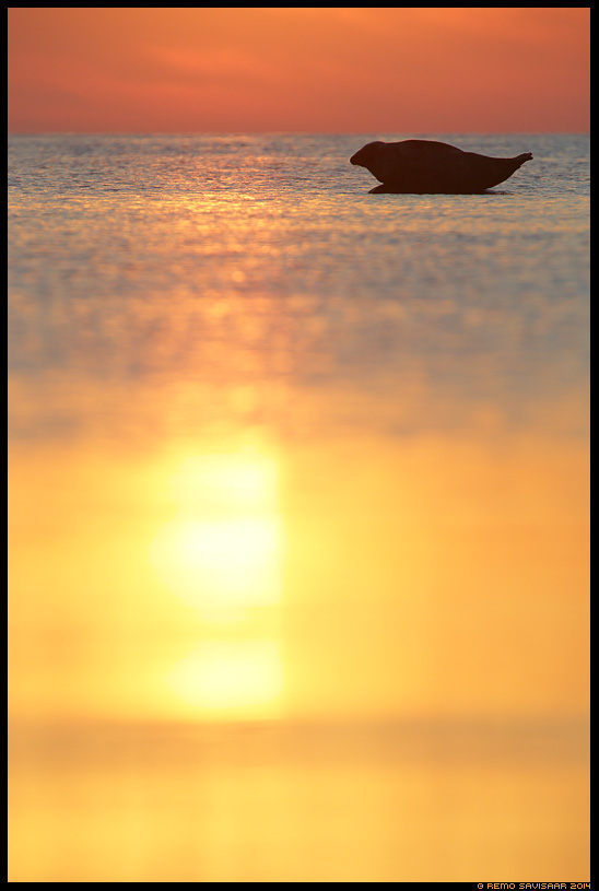 Hallhüljes, Grey Seal, Halichoerus grypus liivi laht gulf of liivi Remo Savisaar Eesti loodus Estonian Estonia Baltic nature wildlife photography photo blog loodusfotod loodusfoto looduspilt looduspildid