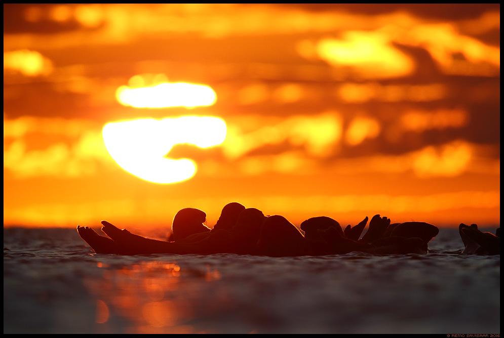 Hallhüljes, Grey Seal, Halichoerus grypus liivi laht gulf of liivi läänemeri Remo Savisaar Eesti loodus Estonian Estonia Baltic nature wildlife photography photo blog loodusfotod loodusfoto looduspilt looduspildid