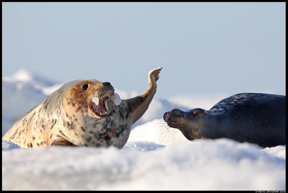 Hallhüljes, Grey Seal, Halichoerus grypus Remo Savisaar Eesti loodus Estonian Estonia Baltic nature wildlife photography photo blog loodusfotod loodusfoto looduspilt looduspildid