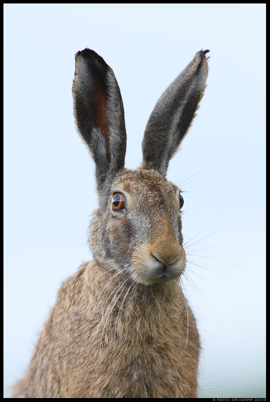 Halljänes, Brown Hare, Lepus europaeus Remo Savisaar Eesti loodus  Estonian Estonia Baltic nature wildlife photography photo blog loodusfotod loodusfoto looduspilt looduspildid