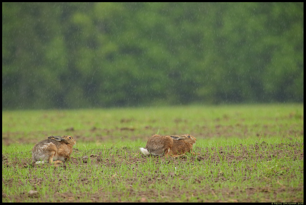 Halljänes, Brown Hare, Lepus europaeus põld vihmasadu rainfall Remo Savisaar Eesti loodus  Estonian Estonia Baltic nature wildlife photography photo blog loodusfotod loodusfoto looduspilt looduspildid