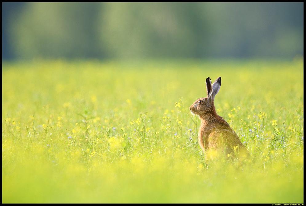 Halljänes, Brown Hare, Lepus europaeus rapsipõld raps flowers spring kevad Remo Savisaar Eesti loodus Estonian Estonia Baltic nature wildlife photography photo blog loodusfotod loodusfoto looduspilt looduspildid
