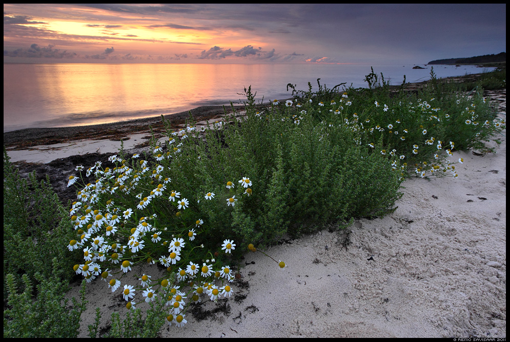 Vaikne õhtu rannikul, A quiet evening at the coast, Rand-kesalill, Sea Mayweed, Scentless Mayweed, Matricaria maritima, Õhtupilved, Evening clouds, meri, õhtu, sunset, päikeseloojang, hiiumaa