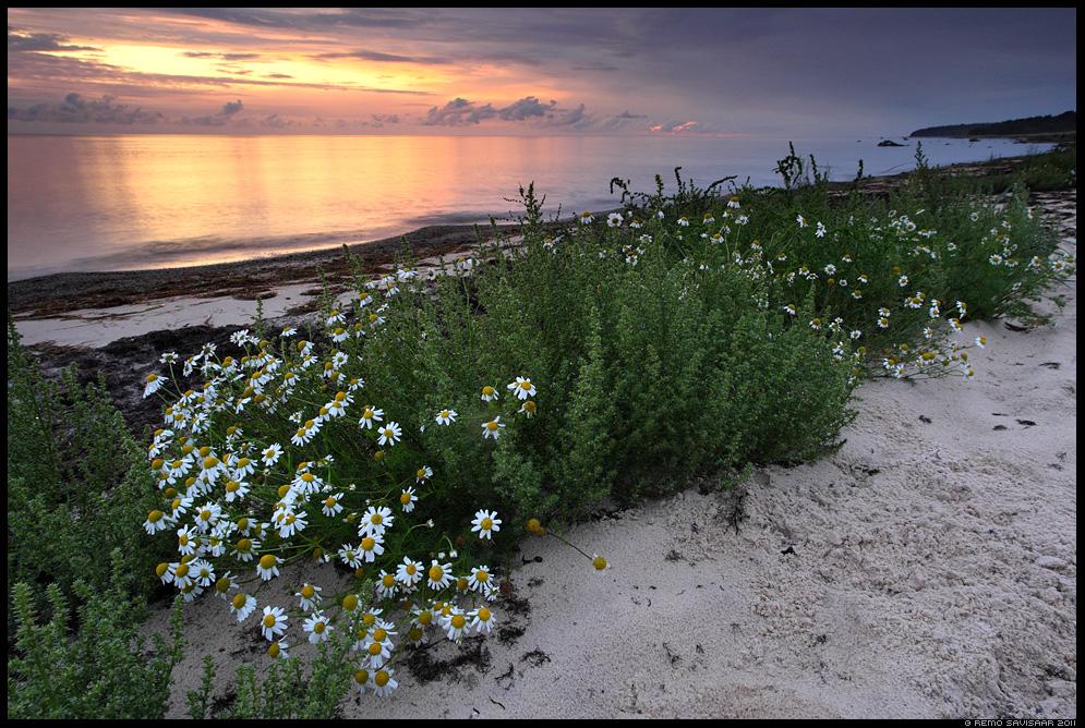 Vaikne õhtu rannikul, A quiet evening at the coast, Rand-kesalill, Sea Mayweed, Scentless Mayweed, Matricaria maritima, Õhtupilved, Evening clouds, meri, õhtu, sunset, päikeseloojang, hiiumaa