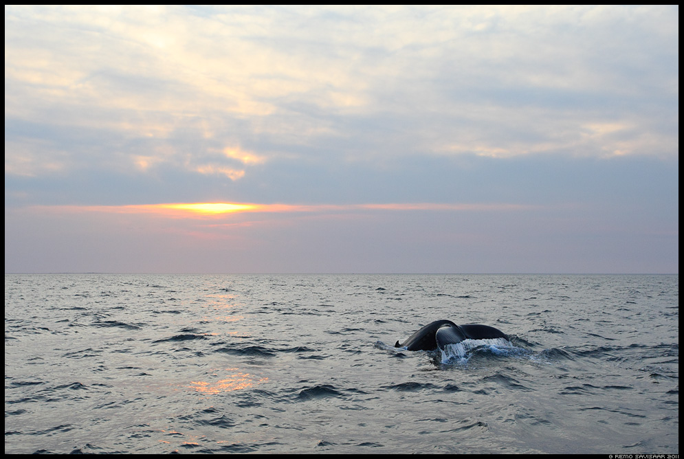 Island, Iceland, Küürvaal, Humpback Whale, Megaptera novaeangliae, Husavik, Skjálfandi bay