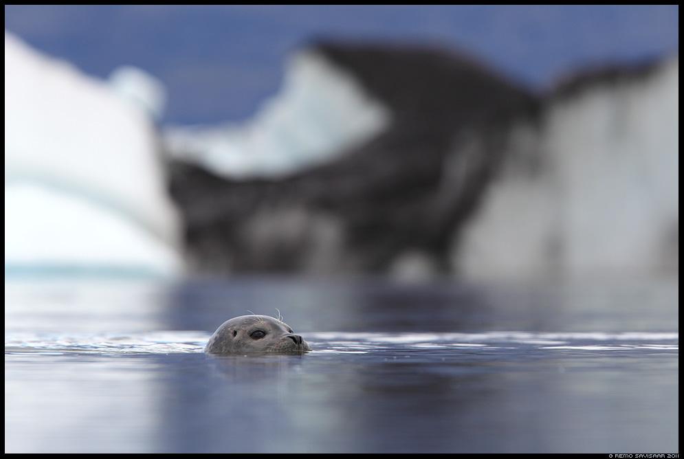 Island, Iceland, Jökulsárlón, Glacier Lagoon, glacier lake, Randalhüljes, hüljes, Harbour seal, Phoca vitulina