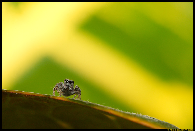 Hpikmblik, Jumping spider
