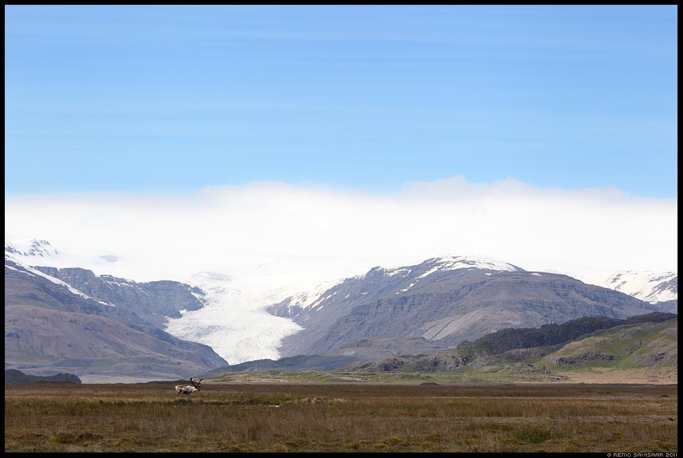 Island, Iceland, Põhjapõder, Reindeer, Rangifer tarandus, liustik, liustikukeel, glacier, mäed, mountains, mountain, minimalism, minimalistic