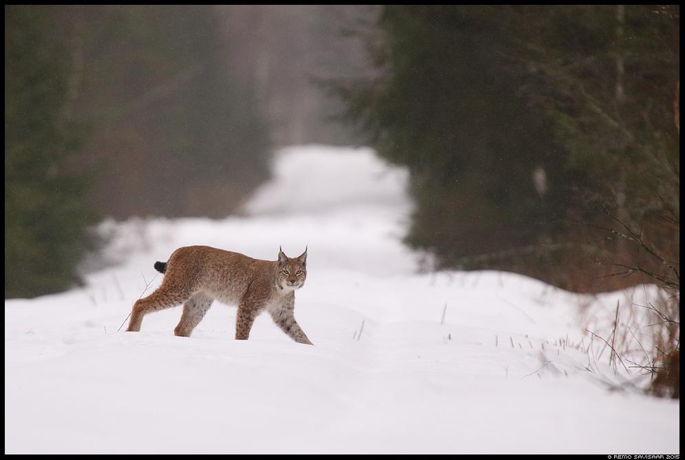 Felis lynx, Ilves, Lynx, European lynx, eurasian lynx vihm vihmasadu rainfall Remo Savisaar nature wildlife photography photo blog loodusfotod loodusfoto looduspilt looduspildid