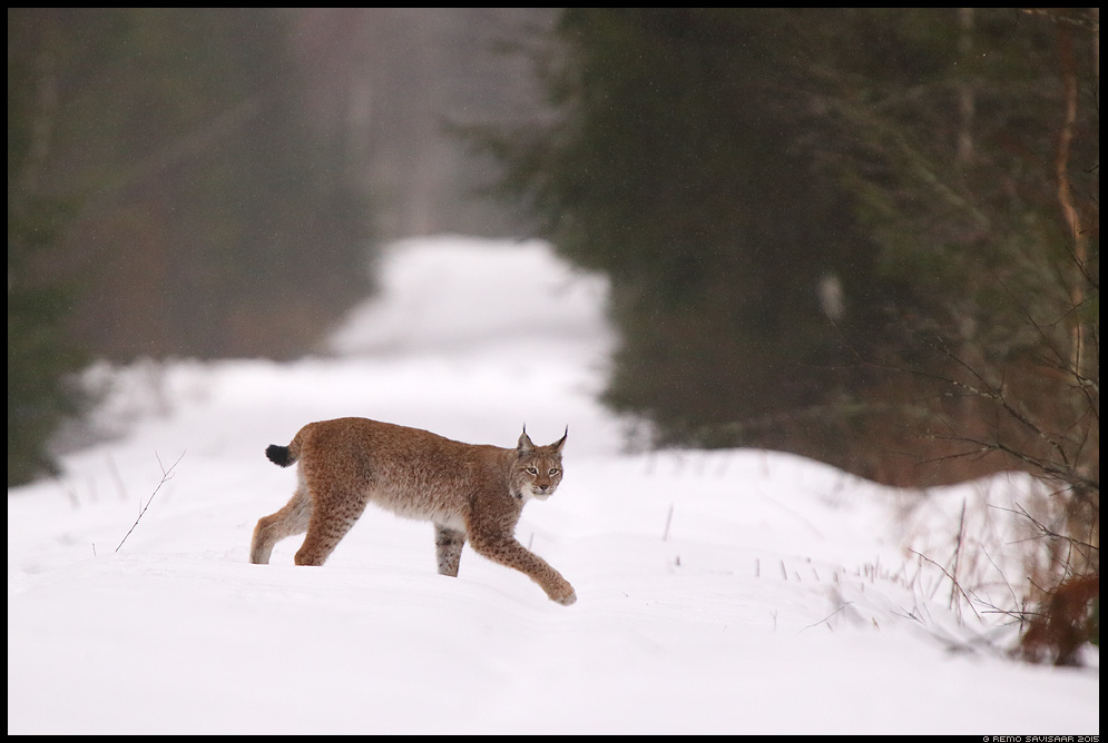 Metskass, Wild Cat of the Forest Felis lynx, Ilves, Lynx Remo Savisaar nature wildlife photography photo blog loodusfotod loodusfoto looduspilt looduspildid