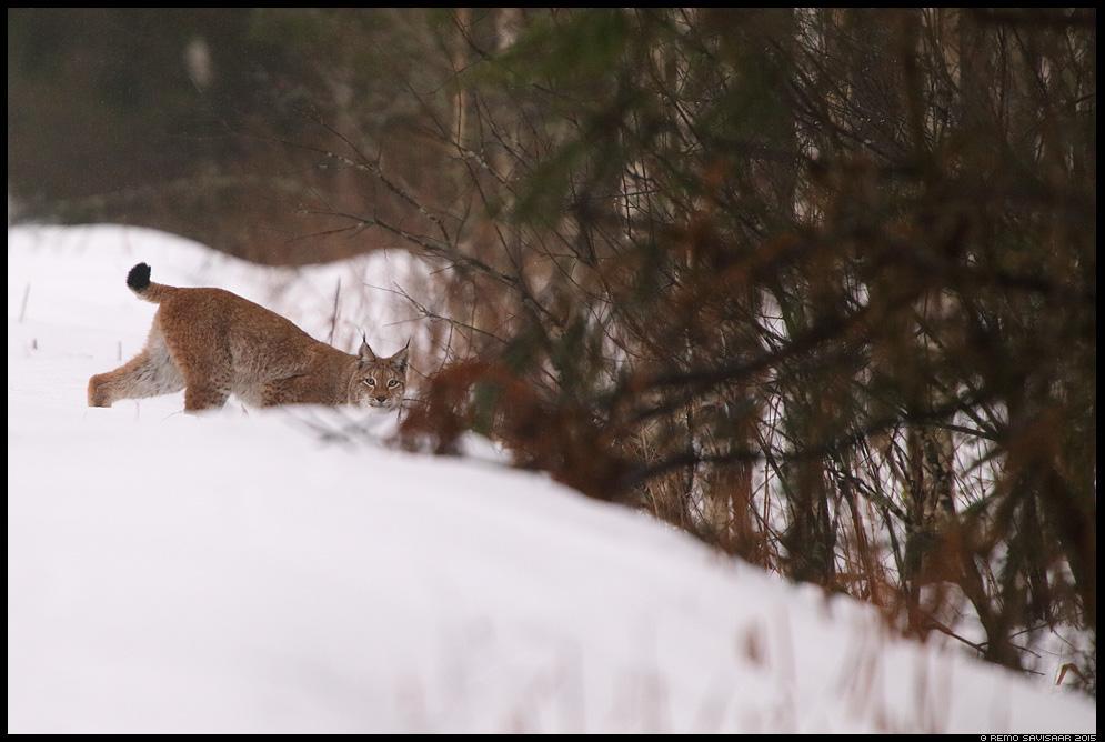 Felis lynx, Ilves, Lynx Remo Savisaar nature wildlife photography photo blog loodusfotod loodusfoto looduspilt looduspildid