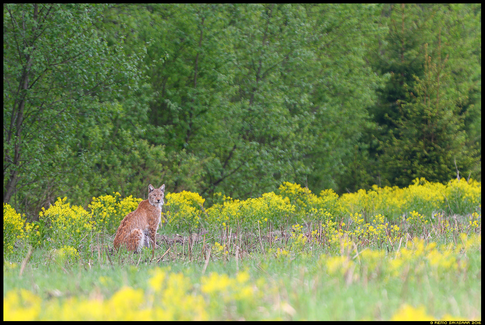 Felis lynx, Ilves, Lynx heinamaa suvi lilled Remo Savisaar nature wildlife photography photo blog loodusfotod loodusfoto looduspilt looduspildid
