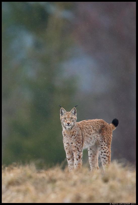 Felis lynx, Ilves, Lynx eurasian lynx vihm vihmasadu rain rainfall Remo Savisaar nature wildlife photography photo blog loodusfotod loodusfoto looduspilt looduspildid