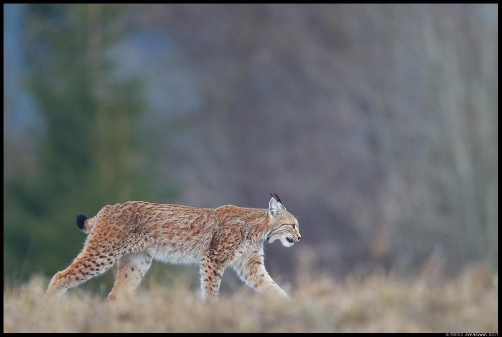 Felis lynx, Ilves, Lynx eurasian lynx europeal lynx Remo Savisaar nature wildlife photography photo blog loodusfotod loodusfoto looduspilt looduspildid