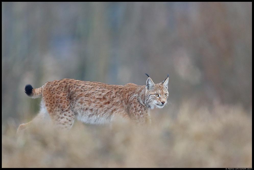 Ilves, Lynx, European lynx Remo Savisaar Eesti loodus  Estonian Estonia Baltic nature wildlife photography photo blog loodusfotod loodusfoto looduspilt looduspildid