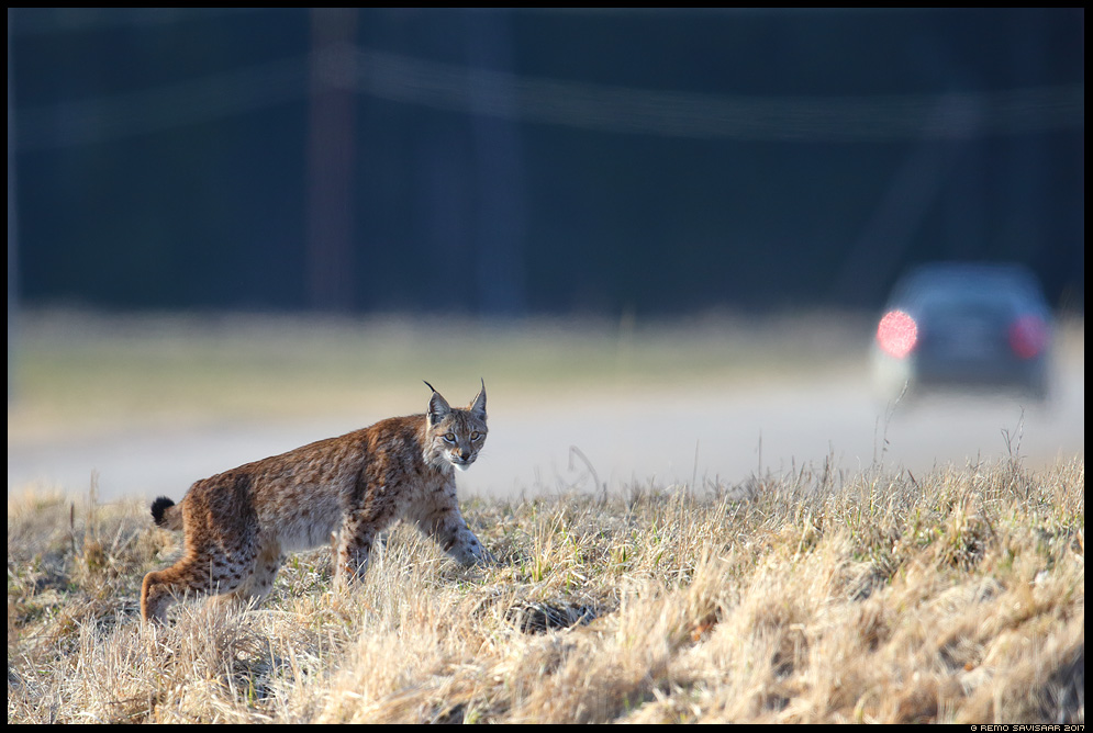 Felis lynx, Ilves, Lynx eurasian lynx Remo Savisaar nature wildlife photography photo blog loodusfotod loodusfoto looduspilt looduspildid