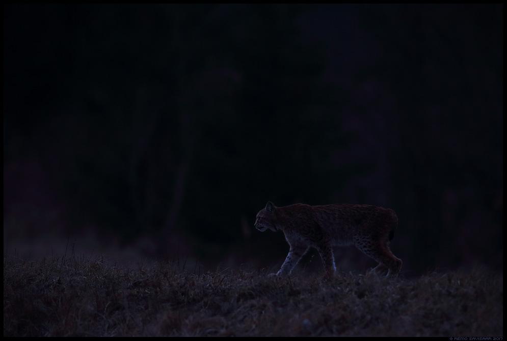 Felis lynx, Ilves, Lynx eurasian lynx european lynx Remo Savisaar nature wildlife photography photo blog loodusfotod loodusfoto looduspilt looduspildid
