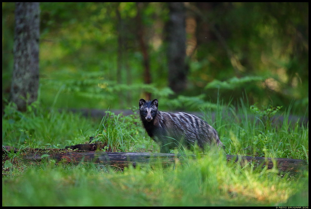 Kährikkoer, Raccoon dog, Nyctereutes procyonoides  Remo Savisaar Eesti loodus  Estonian Estonia Baltic nature wildlife photography photo blog loodusfotod loodusfoto looduspilt looduspildid