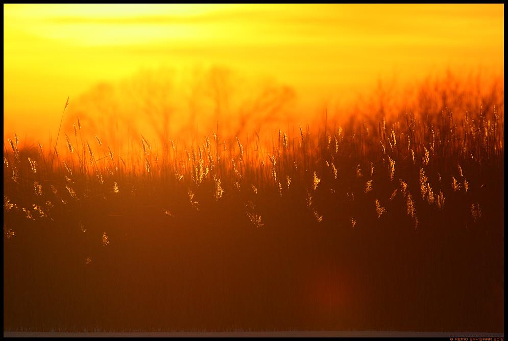 Loojanguhetk, Sunset, Leegitsev roostik, Reeds in flames, pilliroog, vesiroog, Phragmites australis