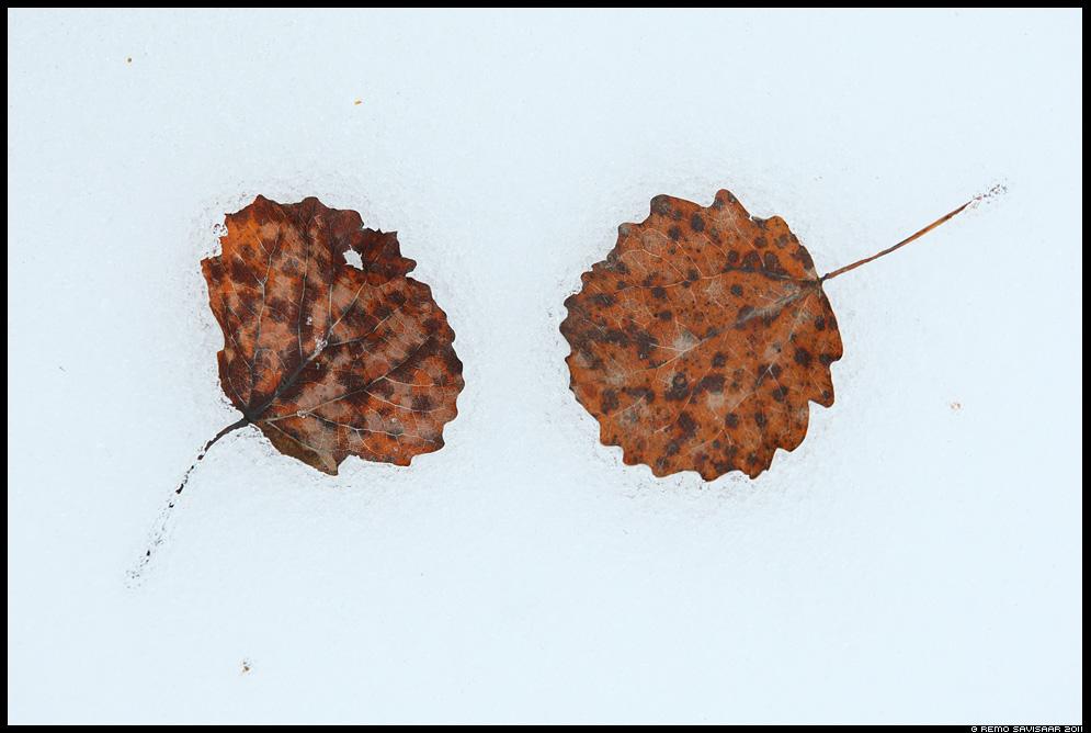 Kahekesi, koos. Together, harlik haab, haavaleht, Populus tremula, tree leaf, sula