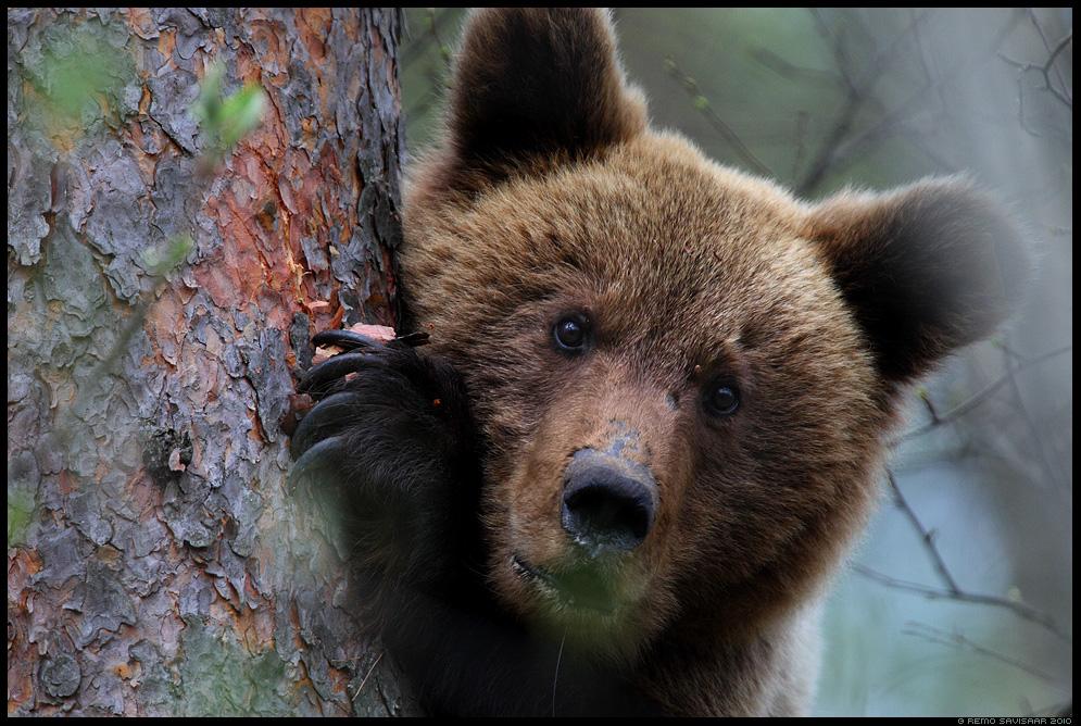Pruunkaru, Brown Bear, Ursus arctos, Eesti, Estonia, kevad, spring, mänd, pine tree, forest, mets