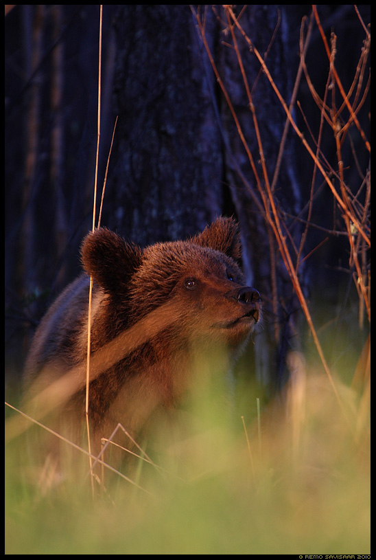 Pruunkaru, Brown Bear, Ursus arctos kevad alam-pedja spring Remo Savisaar Eesti loodus  Estonian Estonia Baltic nature wildlife photography photo blog loodusfotod loodusfoto looduspilt looduspildid