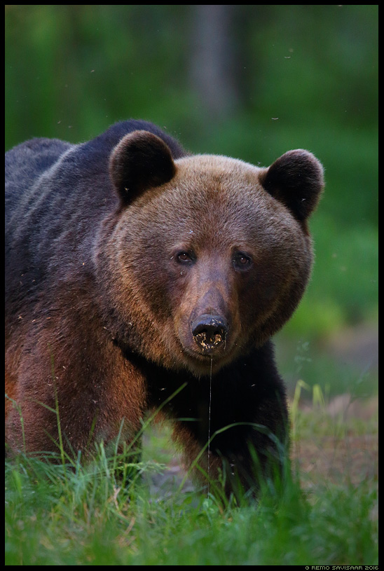 Pruunkaru, Brown Bear, Ursus arctos Remo Savisaar Eesti loodus Estonian Estonia Baltic nature wildlife photography photo blog loodusfotod loodusfoto looduspilt looduspildid landscape nature wild wildlife nordic