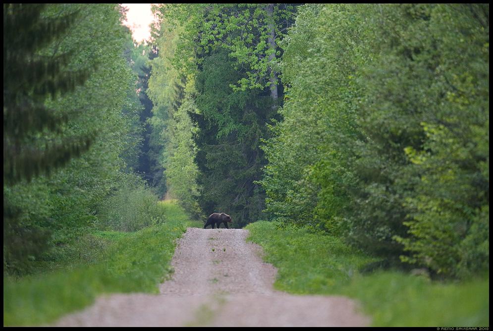 Pruunkaru, Brown Bear, Ursus arctos vooremaa tartumaa tee mets forest road Remo Savisaar Eesti loodus Estonian Estonia Baltic nature wildlife photography photo blog loodusfotod loodusfoto looduspilt looduspildid landscape nature wild wildlife nordic